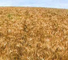 Зерна на внутреннем рынке Украины будет в 2 раза больше, чем ему нужно