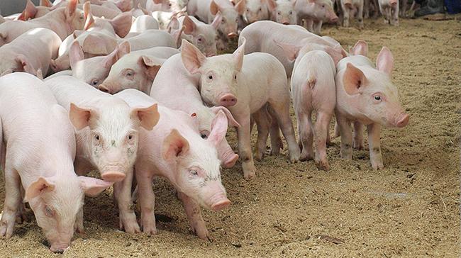 Экспорт живых свиней из Украины летом-2016 принял взрывной характер