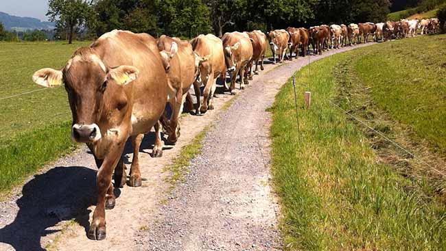 Украина вынуждена покупать молоко в Бельгии