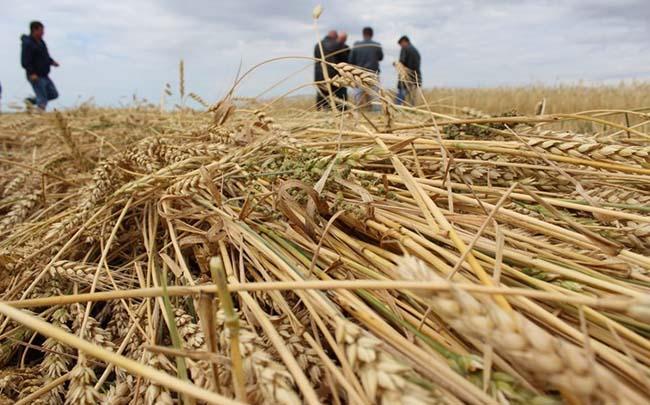 В 2020 урожай зерновых в Украине будет меньше предыдущего года